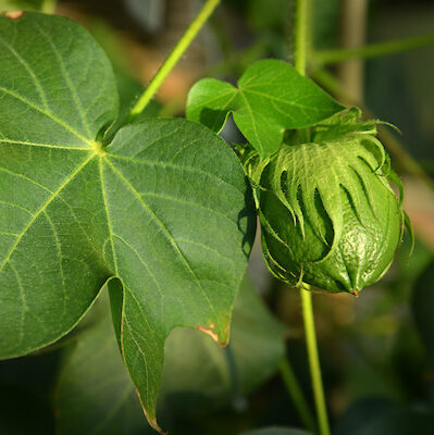 Cotton Boll and Leaf